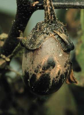 image 被害果作物名なす一般名称チャノホコリダニ学術名称Polyphagota... &am